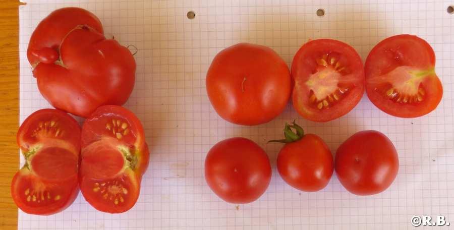 Super Sioux Heirloom rote Tomate alte Sorte aus den USA ertragreich Freiland